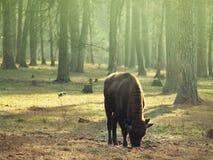 Niño joven del bisonte que pasta en el prado Imagen de archivo