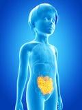 Niño joven - intestino delgado Fotos de archivo