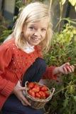 Niño joven que cosecha los tomates Imagenes de archivo