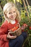 Niño joven que cosecha los tomates Fotografía de archivo libre de regalías