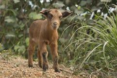 Niño lindo de la cabra Fotografía de archivo
