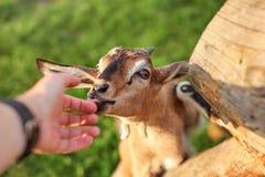 Niño marrón joven de la cabra alimentado por el hombre, mirando para arriba de lamedura de su mano fotografía de archivo libre de regalías