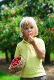 Niño pequeño divertido que come la cereza escogida fresca en jardín de la cereza Fotos de archivo libres de regalías