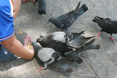 Niño que da la comida a las palomas Imagen de archivo libre de regalías