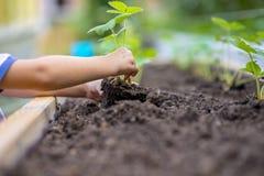 Niño que planta el almácigo de la fresa adentro a un suelo fértil Fotos de archivo libres de regalías