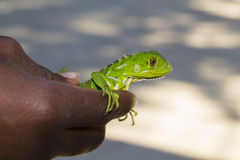 Niño que sostiene el lagarto Foto de archivo