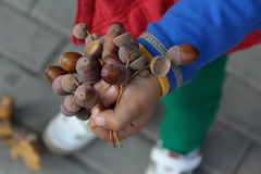 Niño que sostiene las bellotas Imágenes de archivo libres de regalías