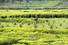 Niño que trabaja en una plantación de té Foto de archivo libre de regalías