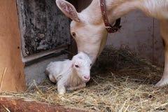 Niño recién nacido blanco con la cabra de la madre foto de archivo