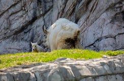 Niño y madre aislados de la cabra de montaña rocosa fotografía de archivo libre de regalías