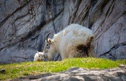 niño y madre de la cabra de montaña rocosa imagen de archivo libre de regalías