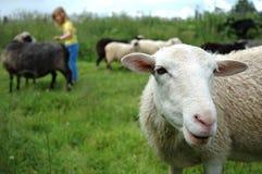 Niño y ovejas Imagen de archivo