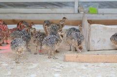 Niños de la avestruz Foto de archivo libre de regalías