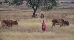 Niños del Masai con ganado foto de archivo