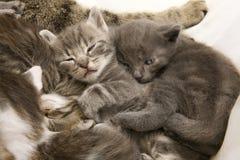 Niños durmientes del gato Foto de archivo