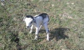 Niños naturales de la naturaleza de las cabras del bebé del castillo de la cabra Foto de archivo libre de regalías