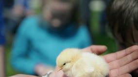 Niños que acarician pequeños pollos almacen de metraje de vídeo