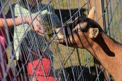 Niños que alimentan la cabra de billy en el zoo-granja Imagenes de archivo