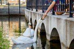Niños que alimentan los cisnes blancos, Ufa, Rusia imagenes de archivo