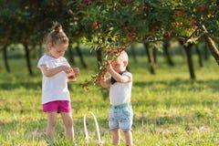 Niños que escogen la cereza imagenes de archivo