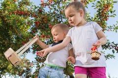 Niños que escogen la cereza fotos de archivo