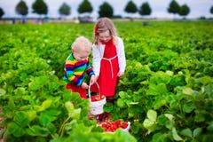 Niños que escogen la fresa en un campo de granja Imagen de archivo libre de regalías