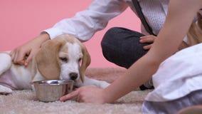 Niños que juegan con el perrito, animal doméstico de la familia, la mejor raza para los niños, cierre del beagle para arriba almacen de metraje de vídeo