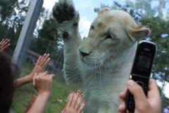 Niños que juegan con una leona en un safari Foto de archivo