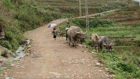 Niños que reúnen búfalos en valle del PA del Sa Imagenes de archivo