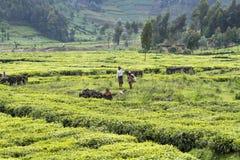 Niños que trabajan en una plantación de té Fotografía de archivo libre de regalías