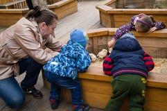 Niños, un muchacho, pollos y juego de una alimentación de la muchacha pequeños con ellos Imagen de archivo