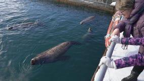 Niños y adultos que miran para la natación septentrional animal salvaje del león marino en el océano almacen de video