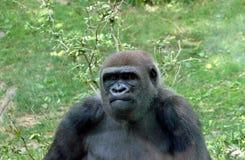 Niżowy goryl W Bronx zoo, Nowy Jork Obrazy Stock