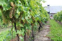 Виноградник в Niagara-на--озере, Онтарио, Канаде Стоковая Фотография RF