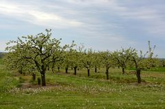 Niagara orchard Royalty Free Stock Images