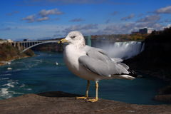 Niagara Seagull. A seagull near Niagara waterfall Stock Photography