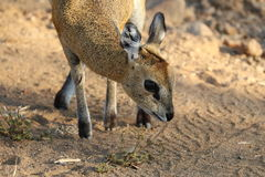 Nibble gently. Klipspringer ewe gently nibbling on plant next to gravel road in the Waterberg region of South Africa at Marakele Game Reserve in July, 2017 royalty free stock photo
