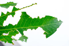 Nibble leaves texture. In green and white background; bitten sign from caterpillar Stock Photo