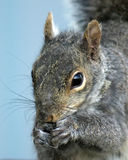 The Nibbler. Squirrel tight eating Stock Images