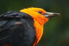 Bright orange colored head of a scarlet-headed blackbird bird eating a seed grain corn Royalty Free Stock Photos