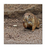 Nibbling Ground Squirrel Royalty Free Stock Photo