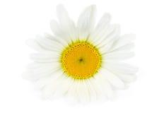 Única flor da margarida Fotos de Stock