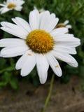?nica flor da margarida branca fotografia de stock