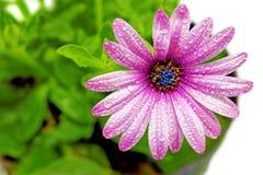 Única flor do Gazania com gotas. (Gênero asteraceae de Splendens Imagem de Stock