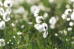 Única flor em uma luz do por do sol da noite, Islândia da grama de algodão Imagens de Stock