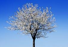 Única árvore de florescência Fotos de Stock Royalty Free