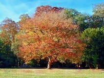 ?nica ?rvore do c?rculo enorme em um prado no outono imagens de stock