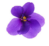 Única violeta isolada simples Fotografia de Stock