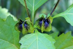 Nicandra physalodes or Apple-of-Peru two lantern like flower buds surrounded with multiple leaves. Nicandra physalodes or Apple-of-Peru or Shoo-fly plant two stock image
