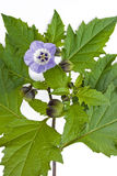 Nicandra physalodes flower Stock Image